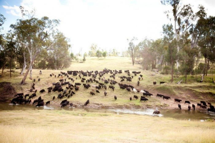 Cattle-at-creek-700x467