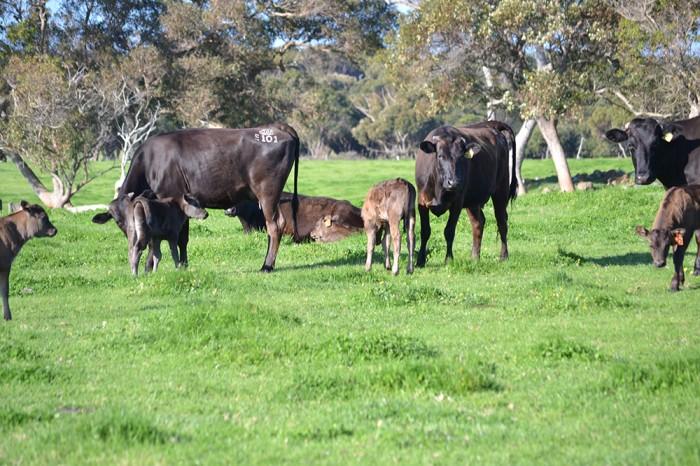 P-Gilmore-Fullblood-Cow-calf-241-700x466